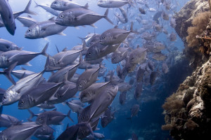 School of Big Eyed Jack swimming over a reef