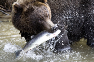 Brown bear and fish